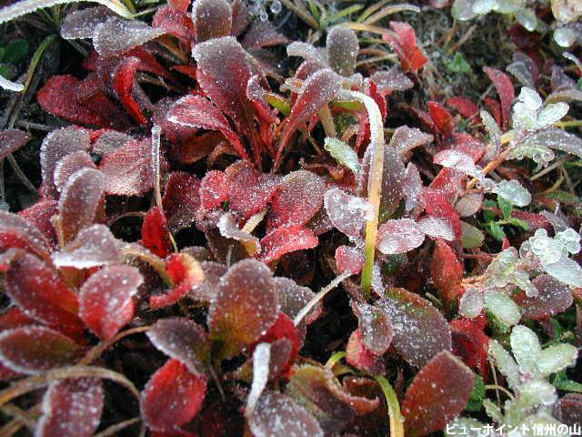 紅葉のウラシマツツジ