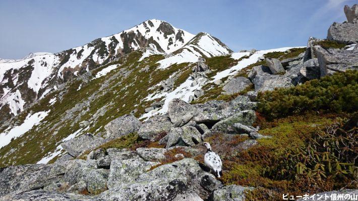 残雪の常念岳と雷鳥