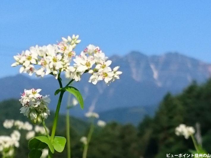 爺ヶ岳と蕎麦の花
